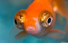 Amazing Telescope Goldfish Aquarium Wallpapers