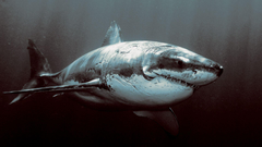 Wallpapers For Shark Wallpapers Hd