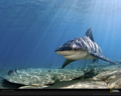 Bull Shark Picture Bull Shark Desktop Wallpaper Wallpapers