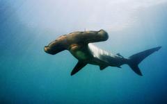 Hammerhead Sharks Atlantis Bahamas Hd Wallpapers