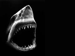 Shark Animal Killer Wallpapers Wallpapers