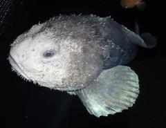 blob fish wallpapers