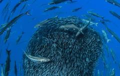 Wallpapers sea fish Barracuda sardines image for desktop
