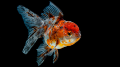 Goldfish 4K UltraHD Wallpapers