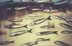 Wallpapers eyes fish bokeh sardines image for desktop
