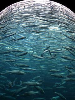 HD wallpaper sardines fish swarm glass cylinder