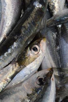HD wallpaper fish sardines european sardine fang