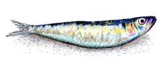 Best 53 Sardine Wallpapers on HipWallpapers