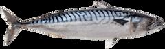 Scomber scombrus Atlantic mackerel