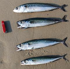 Fish of the week Atlantic Mackerel
