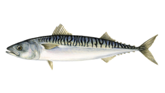 What is mackerel