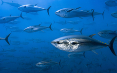 Tuna HD Wallpapers