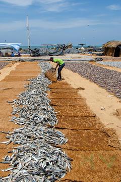 HD wallpaper fish dried fish sardines asia fishing