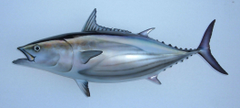 Skipjack tuna drawing photo and wallpaper Cute Skipjack tuna