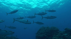 Blackfin Tuna Widescreen High Resolution For Desktop