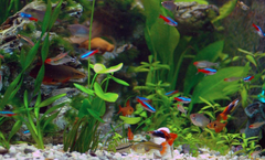 Neon Tetra Fish Facts Care Disease Breeding Tank Mates