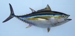 Tuna Giant Bluefin Tuna Fishing Poster Wild Caught Tuna Tuna
