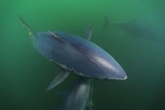 Fish Swimming Tuna Bluefin Fishes Fish Bluerfin Water In Ocean