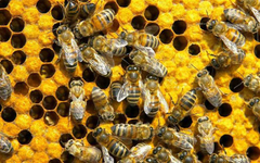 Bee Wallpapers 64 on HD Wallpapers Page