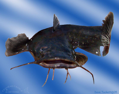 Best 34 Catfish Backgrounds for Computer on HipWallpapers