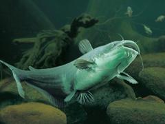 Catfish Aquaponics