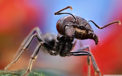 Ant Macro 4K HD Desktop Wallpapers for 4K Ultra HD TV Tablet