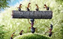 Hercules Ant wallpapers