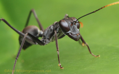 Insect Wallpapers MYRMECOS