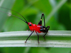 Daily Insect 72 red crickets