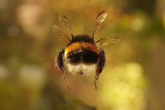 Bumblebee Wallpapers
