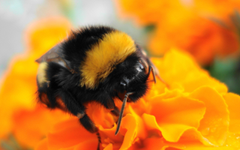 Pics For Bumble Bee Insect Wallpapers