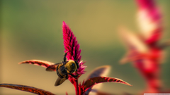 Bumble Bee Insect Ultra HD Desktop Backgrounds Wallpapers for