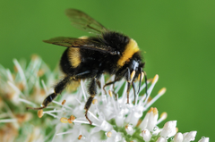 Closeup Photo of Bumble Bee on White Flowers Stock Photo