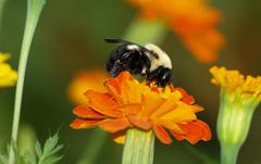 Marigold Bumblebee wallpapers