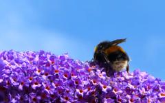 Bumblebee flowers