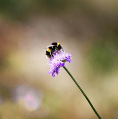 Bumblebee Pictures