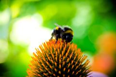bee bee collectiong pollen bumblebee echinocea flower