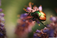 Colorful Beetle Insect Ultra HD Desktop Backgrounds Wallpapers