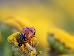 HD Ladybug Beetle Insect Wallpapers Wallpapers io