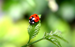 Desktop Wallpapers Lady beetle Insects Animals