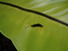 Green Leaf Earwig