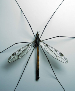 Crane Fly Insect Facts with Pictures