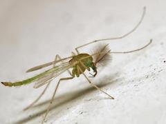 Harmless Mosquito