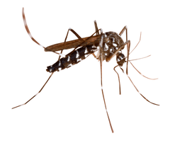 Mosquito PNG image