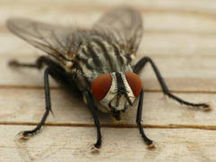 House fly on wood board panel close