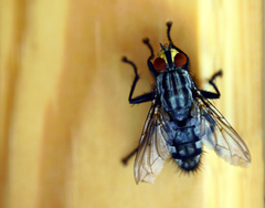 stock photo of fly eye fly wing housefly