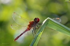 Red Insect dragon fly Insects wallpapers