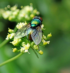 HD wallpaper fly insect pest garden nature flower