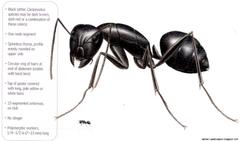 Black Ants Vs Carpenter Ants