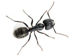Carpenter ants can damage wood in your home